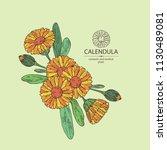 calendula  calendula plant ... | Shutterstock .eps vector #1130489081