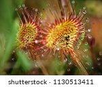round sundew  drosera...   Shutterstock . vector #1130513411
