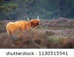 closeup of brown red highland... | Shutterstock . vector #1130515541