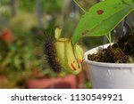 pest worm with tropical pitcher ...   Shutterstock . vector #1130549921