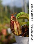 tropical pitcher carnivorous...   Shutterstock . vector #1130550485