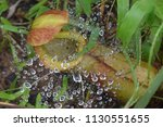 pitcher carnivorous plant with ...   Shutterstock . vector #1130551655