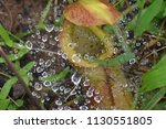 pitcher carnivorous plant with ...   Shutterstock . vector #1130551805