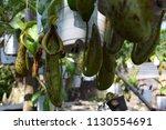 tropical pitcher carnivorous...   Shutterstock . vector #1130554691