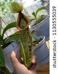 tropical pitcher carnivorous...   Shutterstock . vector #1130555039
