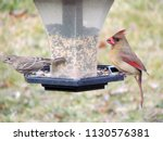 female house finch and cardinal ...   Shutterstock . vector #1130576381