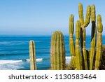 Saguaro Cactus Plants ...