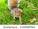 cheerful naughty  squirrel in... | Shutterstock . vector #1130689964