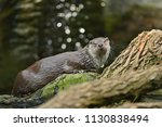 very cute river otter in the... | Shutterstock . vector #1130838494