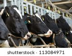 Milch Cows During Milking At...