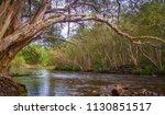 River Gum Overhanging...