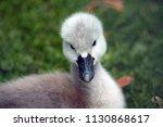 The Mute Swan  Cygnus Olor ....