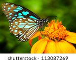 Stock photo blue butterfly fly in morning nature 113087269