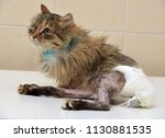 sick cat who suffered an injury ... | Shutterstock . vector #1130881535