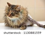 sick cat who suffered an injury ... | Shutterstock . vector #1130881559