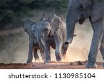 Young African Elephants Racing...