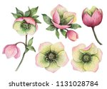 watercolor set of hellebore... | Shutterstock . vector #1131028784