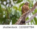 kestrel in natural environment. | Shutterstock . vector #1131037784
