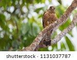 kestrel in natural environment. | Shutterstock . vector #1131037787