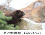 vancouver island marmot ...