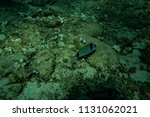 fish at the bottom of the... | Shutterstock . vector #1131062021