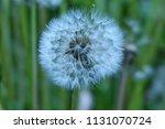 white dandelion flower  | Shutterstock . vector #1131070724
