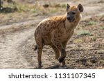 spotted hyena looking for a prey | Shutterstock . vector #1131107345