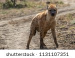 spotted hyena looking for a prey | Shutterstock . vector #1131107351