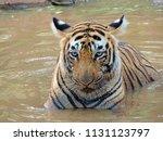 bengal tiger cub  panthera... | Shutterstock . vector #1131123797