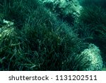 sea grass at the bottom of the... | Shutterstock . vector #1131202511