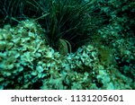 giant clam at the bottom of the ... | Shutterstock . vector #1131205601