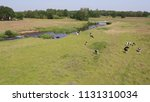 dutch cows on a field   taken... | Shutterstock . vector #1131310034