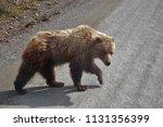 close up of bear crossing road... | Shutterstock . vector #1131356399