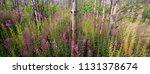 ivan tea growing in a pine... | Shutterstock . vector #1131378674