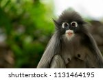 close up face of leaves monkey... | Shutterstock . vector #1131464195