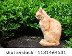 close up shot of portrait cat.... | Shutterstock . vector #1131464531