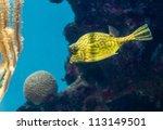 Small photo of Scrawled Cowfish, Acanthostracion quadricornis