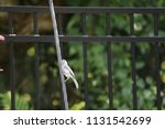 chickadee titmouse songbird... | Shutterstock . vector #1131542699