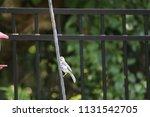 chickadee titmouse songbird... | Shutterstock . vector #1131542705