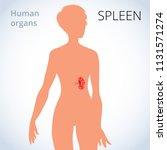 the location of the spleen in... | Shutterstock . vector #1131571274