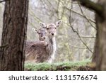 08 april 2018  cannock chase ... | Shutterstock . vector #1131576674