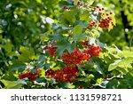vegetation at the river danube. ... | Shutterstock . vector #1131598721