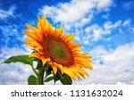 sunflower field summer | Shutterstock . vector #1131632024