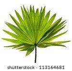 Single Green Palm Leaf ...