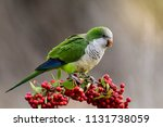 parakeet feeding on wild fruits ... | Shutterstock . vector #1131738059