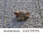 common toad is crossing a street | Shutterstock . vector #1131759791