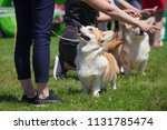 Corgi Dogs And Handlers At The...