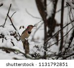 a female norther flicker... | Shutterstock . vector #1131792851
