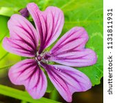 Small photo of A macro shot of a pink malva mystic merlin bloom.