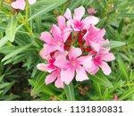 closeup pink oleander or nerium ... | Shutterstock . vector #1131830831